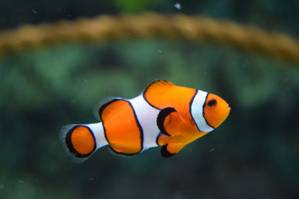 Prepare your fish for the transport first when moving a fish tank to your new home